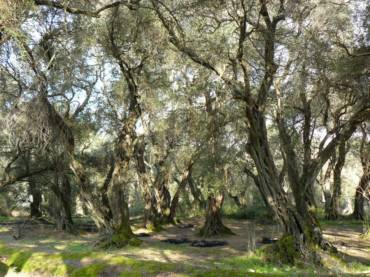 The Governor's Olive Tour